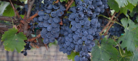 2013 TEXAS GRAPE HARVEST IS A TALE OF TWO WORLDS: High Plains devastated, Bryan area sees record crop