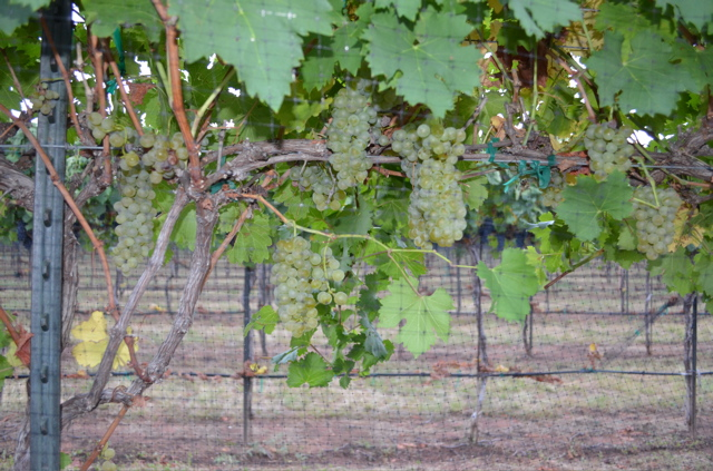 Viognier clusters on the vines at Perissos. Last season this vine carried 5X the number of clusters.