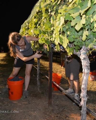Harvest is Underway for Lewis Wines