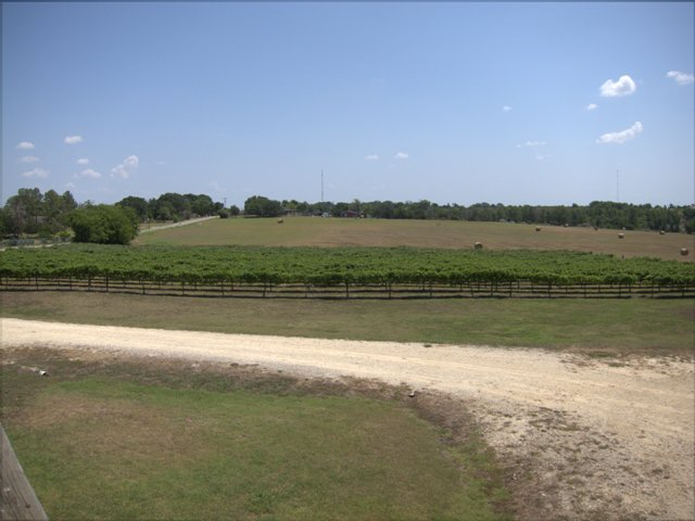 Texas Grape Harvest 2014 2