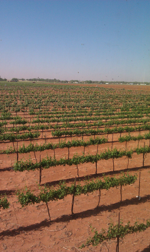Young-Vines-at-Reddy-Vineyards-in-Brownfield,-Texas