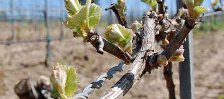 Texas Wine Country 2014: Some Dodged the Bullet, Some Not