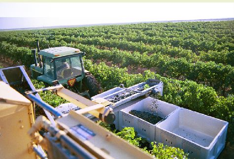 Newsom Vineyards Texas High Plains Wine Grapes